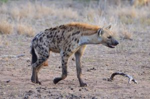 Spotted hyena-Kruger-Paolo Giovanni Cortelazzo