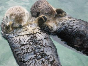 4 Sea otters hold hand
