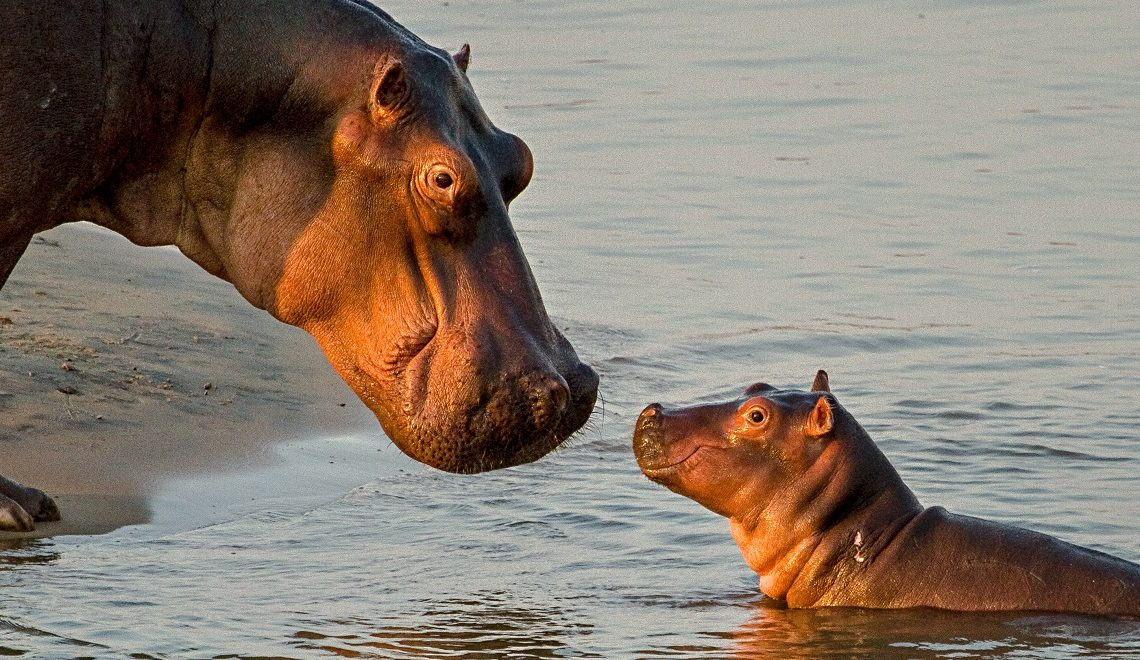 10 Surprising hippo facts
