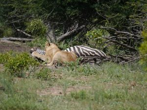 Croc and lion feeding on zebra-Kruger National Park-Andreas Ziegler-Gallery-1