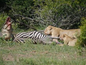 Croc and lion feeding on zebra-Kruger National Park-Andreas Ziegler-Gallery-10