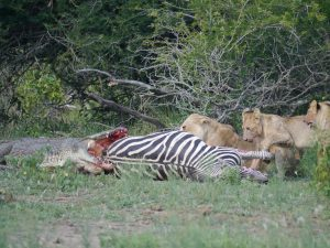 Croc and lion feeding on zebra-Kruger National Park-Andreas Ziegler-Gallery-11