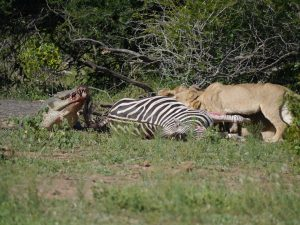 Croc and lion feeding on zebra-Kruger National Park-Andreas Ziegler-Gallery-12