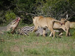 Croc and lion feeding on zebra-Kruger National Park-Andreas Ziegler-Gallery-13