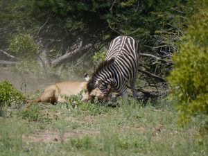 Croc and lion feeding on zebra-Kruger National Park-Andreas Ziegler-Gallery-2