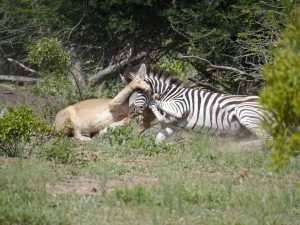 Croc and lion feeding on zebra-Kruger National Park-Andreas Ziegler-Gallery-3
