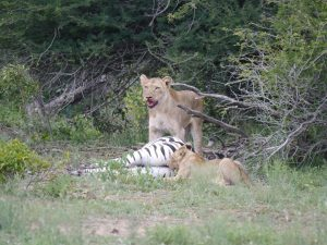 Croc and lion feeding on zebra-Kruger National Park-Andreas Ziegler-Gallery-4
