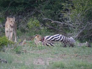 Croc and lion feeding on zebra-Kruger National Park-Andreas Ziegler-Gallery-5