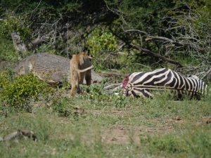 Croc and lion feeding on zebra-Kruger National Park-Andreas Ziegler-Gallery-7