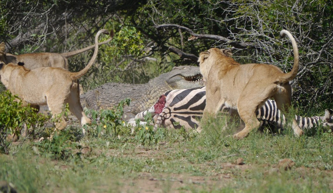 Unlikely companions: Lion and croc share a kill