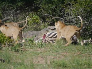 Croc and lion feeding on zebra-Kruger National Park-Andreas Ziegler-Gallery-8