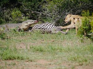 Croc and lion feeding on zebra-Kruger National Park-Andreas Ziegler-Gallery-9