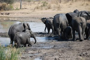 Elephants-Kruger-Thomas Stauch-11