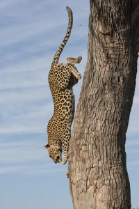 Leopard photography-Grant Atkinson
