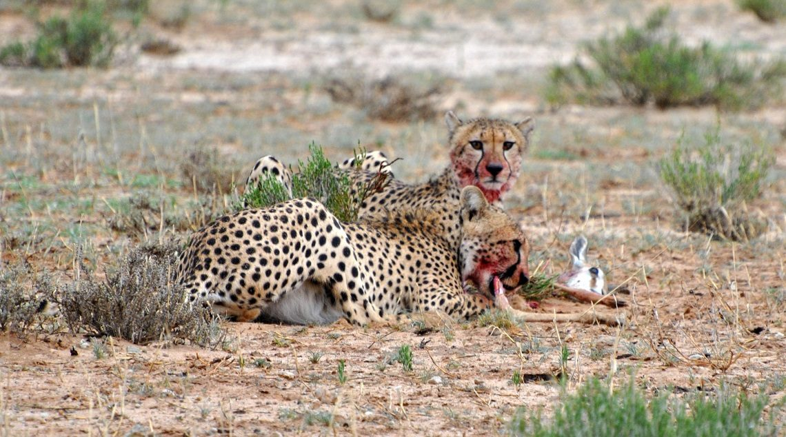 Cheetah kill: Double the hunting trouble