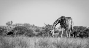Kgalagadi-Black and white-Sumuel Cox-BANNER