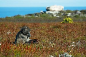 Cape Point baboon by Matthew Lewis