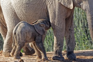 Elephant calf by its mother's side at Hapoor Dam in Addo Elephant National Park by Katharina Hilgers