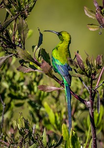 Malachite sunbird. Picture by Riaan Jacobs