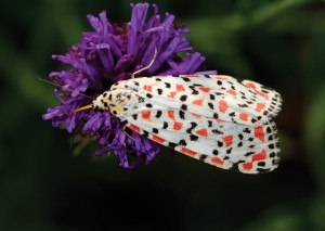 The crimson speckled footman's (Utetheisa pulchella) caterpillar is known to feed on various grasses, plantains and cotton.