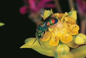 BooklReview-InsectsofSouthAfrica-CuckooWasp-CourtCharles Griffiths and Mike Picker-Feb2016