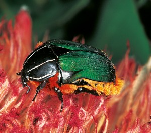 Green protea beetle (Trichostetha fascicularis)