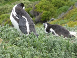 Did you know that the African penguin's average swimming speed is 7km/h?
