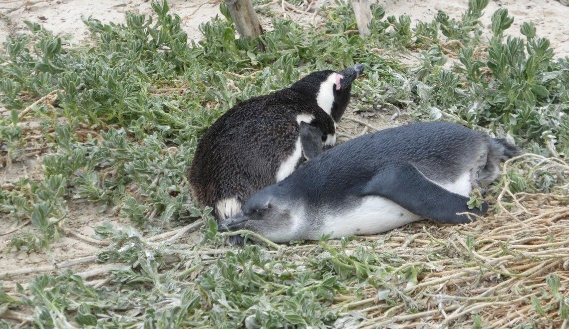 How to protect African penguins