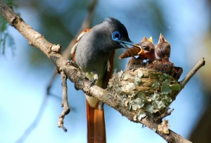 African paradise flycatcher feeding its chicks in Hartebeespoort by Evelyn Joubert