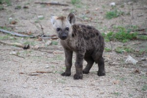 Curious Afsaal hyena cub in the Kruger National Park by Wild editor Romi Boom