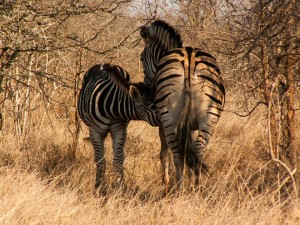 Suckling zebra foal and mare in the Kruger National Park by Michel Rademaker
