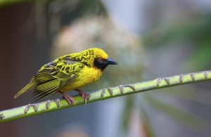 Village (Spotted-backed) Weaver (Ploceus cucullatus) sitting on the branch in South Africa