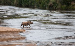 A black rhino – much rarer than a white rhino – crossing the river in front of us. A fantastic sighting, considering that black rhino are mostly nocturnal and only emerge from thick bush after dark.