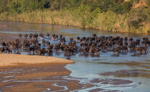 The herd of buffalo that came to drink from the White iMfolozi River, just in front of our campsite.