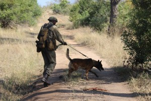 Canine anti-poaching unit in the Kruger