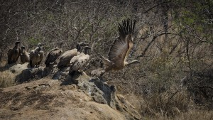 A Cape vulture takes to the wing. This raptor has a wingspan of around 250cm. Pictures by Ben Coley