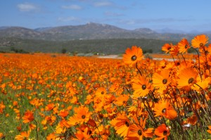 Flower heaven at Namaqua National Park
