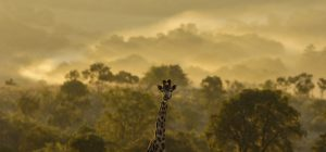 A Giraffe photographed against a dusty sunset