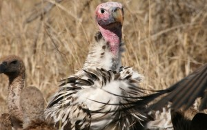 A lappet-faced vulture in the Kruger. Photo by Romi Boom.