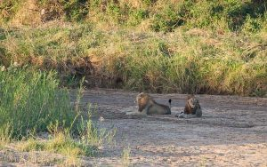 Two large male lions, thinking about their dinner.