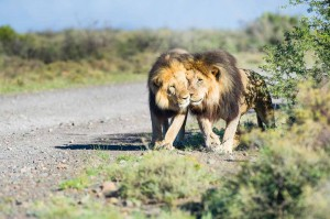 Karoo lion sightings don't get much better than this. Photo by Johan and Bridgena Barnard.