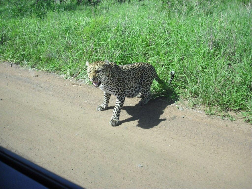 101 Kruger Tales-The calculating leopard-3
