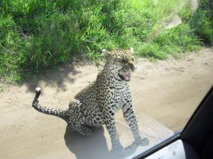 101 Kruger Tales-The calculating leopard-6