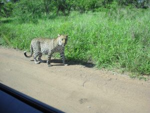 101 Kruger Tales-The calculating leopard-9