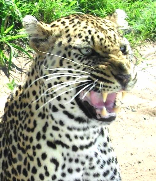 101 Kruger Tales: The calculating leopard