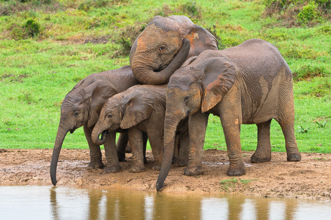 Four young African Elephants bunch up togethr at a waterhole to drink and socialise. Addo Elephant National Park, Eastern Cape, South Africa