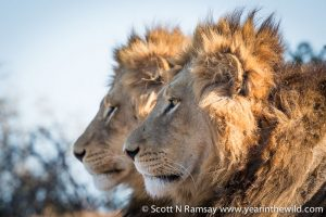 Brother lions in Addo Elephant National Park