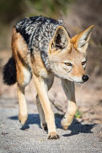 Black-backed jackal out on the hunt in Addo Elephant National Park.