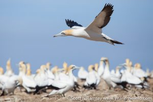 Addo's Bird Island is the largest breeding colony for Cape gannet in the world.