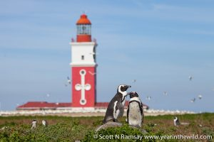 Two penguins pose in front of the lighthouse on Bird Island.